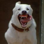 WHITE DOG (1981)
